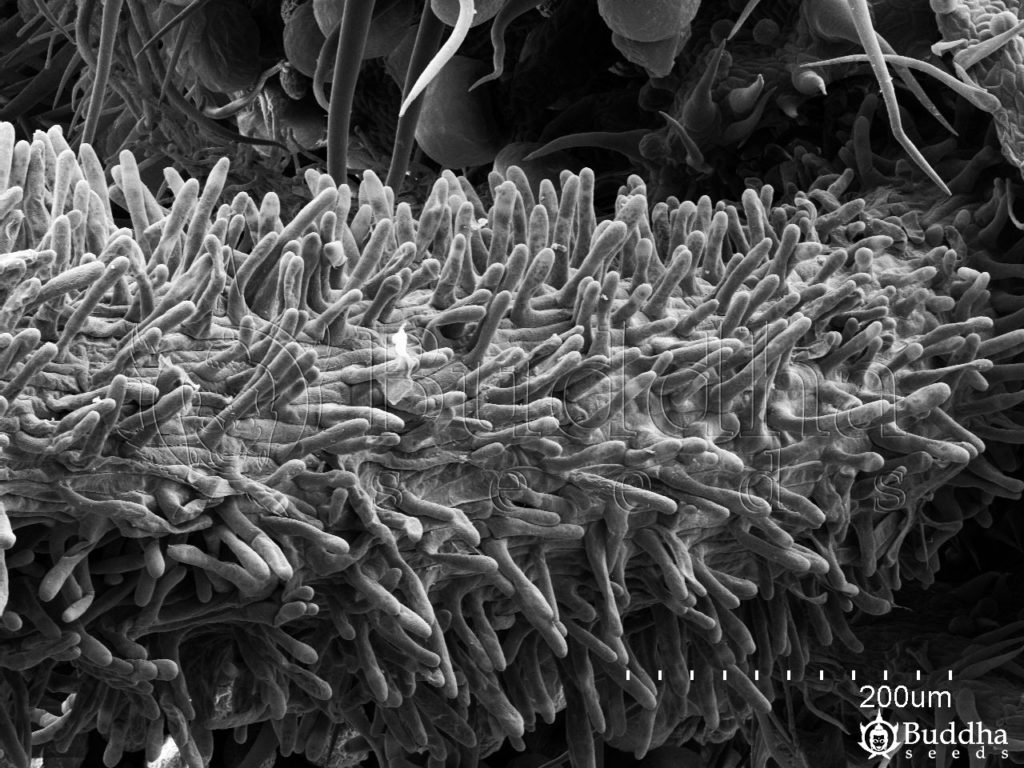 Estigma en detalle que muestra su superficie papilosaº