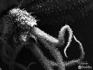 Ovario repleto de tricomas glandulares del que sale el estigma papiloso