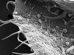Epidermis del envés del borde de una hoja altamente poblada por tricomas filiformes en la que se pueden observar algunos estomas