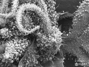 Flor en la que se observa la superficie del ovario repleta de tricomas y los estigmas papilosos