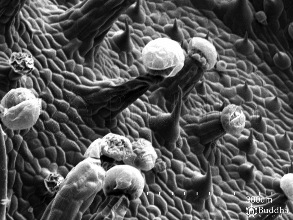Detalle de la epidermis del haz de la hoja en la que se observan tricomas glandulares y filiformes
