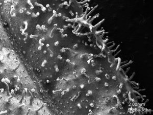 Epidermis del haz de la hoja en la que se observan tricomas glandulares y filiformes