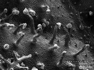 Detalle de la epidermis del haz de la hoja