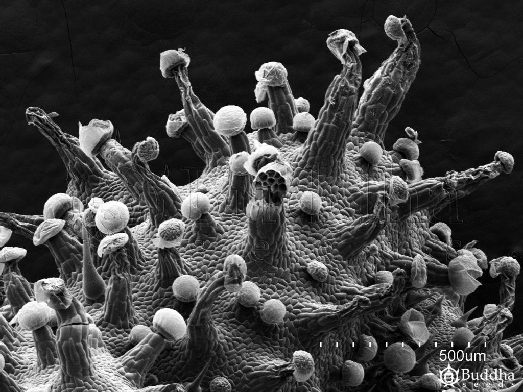 Detalle de superficie de hoja. En el centro se puede observar un tricoma glandular partido en la base y la estructura interna que forma su rotura transversal