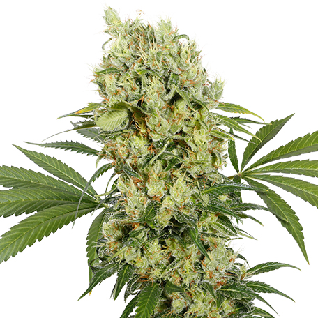 Medikit -Buddha Seeds