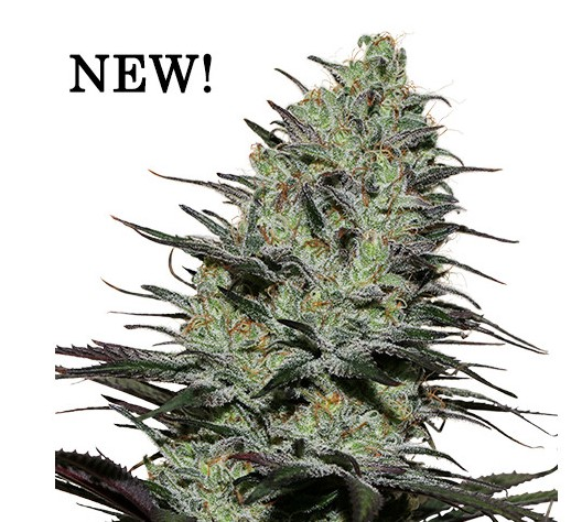 The new variety Morpheus will be presented in Cannafest