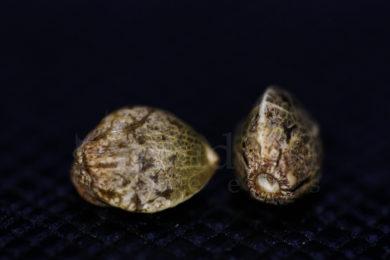 Germinar semillas de cannabis